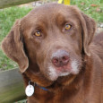 Update 2-14-14: Brownie collapsed and died this morning from a pulmonary embolism as a result of heartworm disease. He had immiticide injections on Jan 15-16 […]