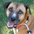 This dog is a real gem! Maple is a 4-5 year-old Hound/Boxer mix female with the most kind and sweet disposition. She was facing euthanasia […]