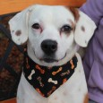 Bonnie is a lovely 3 year-old Beagle mix who has a great personality and is very friendly with all people that she meets. This chubby […]