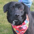 Meet Sabrina, a 1-2 year-old Black Lab mix female who has short legs and looks to be mixed with Basset or Corgi. Sabrina came into […]