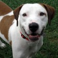 Meet Bentley, a very friendly and outgoing 3 year-old Hound mix male with a sweet face and a fantastic disposition. Bentley found himself homeless at […]
