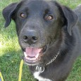 Bogart is a handsome 5 year-old Lab mix who came to Canine Lifeline after he was rescued from a rural county dog shelter that was […]