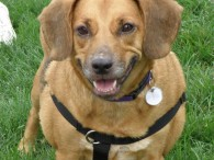Eddie is a friendly and outgoing 5 year-old Beagle/Doxie mix male who was adopted from us four years ago along with his sister Emily. They […]