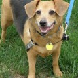 Emily is a sweet and loving 5 year-old Beagle/Doxie mix female who was adopted from us four years ago along with her brother Eddie. They […]