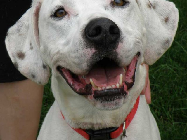Reese is a 3 year-old Dalmatian mix male with a sweet disposition who came to us from a local county dog shelter as a heartworm […]