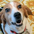 Meet Laurie, an adorable 2 year-old Beagle girl with a typical sweet and loving Beagle disposition. Unfortunately, she tested positive for heartworms at a county […]