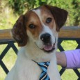 This super-handsome 1 year-old Beagle/Aussie mix male is Thor. He looks like a long-legged Beagle but has really interesting markings and a pink and black […]