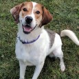 Thor is a lovable 1-year-old Beagle/Aussie mix male. He looks like a long-legged Beagle but has very interesting markings and a pink and black speckled […]