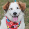 Meet Banjo, a 3-5 year-old male whose breed mix is anyone's guess. We're thinking maybe Collie mixed with Brittany Spaniel, but perhaps there's some St. […]