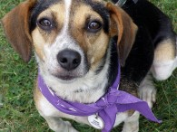 Miss Carrie is a 2-3 year-old Beagle mix female who loves everyone and everything. She was pulled from a high-kill county dog shelter BY a […]