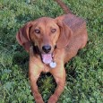 Daisy is a 1 year-old Redbone Coonhound mix girl who's still very much a puppy. Her family turned her into a shelter because they didn't […]