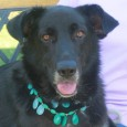 Gracie is a beautiful 2 year-old Shepherd/Lab mix female with perhaps a little Border Collie in the mix too. She found herself homeless at a […]