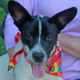 Meet Sonny, a very active and energetic 9 month-old Terrier mix who's all puppy. He was saved from a high-kill county dog pound by a […]