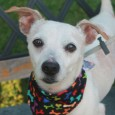 Meet Stanley, an animated 6 year-old Jack Russell Terrier mix male who came to Canine Lifeline to find a new home after he was an […]