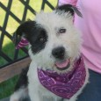 This cutie is Annabelle, a 1 year-old Terrier mix female with short legs and long body like a Corgi or Basset Hound. She came to […]
