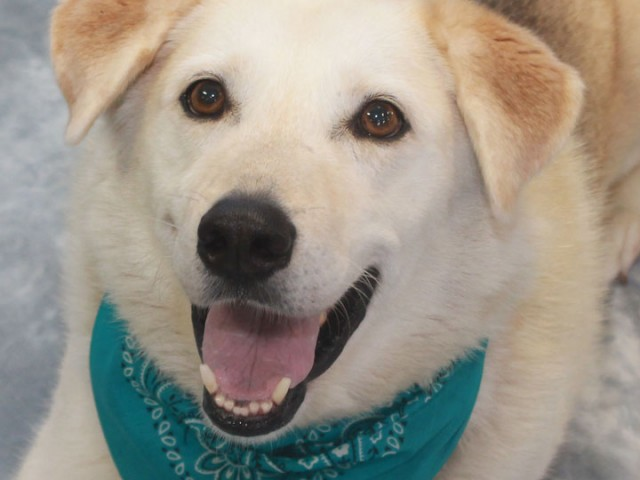 Archie is a big huggable 3 year-old Teddy Bear of a dog who looks like he might be a mix of Shepherd and Lab. […]