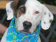 Meet Buckeye, a handsome 3-4 year-old Basset Hound/Dalmatian mix (or at least that's our best guess) who was adopted from us about two years ago […]