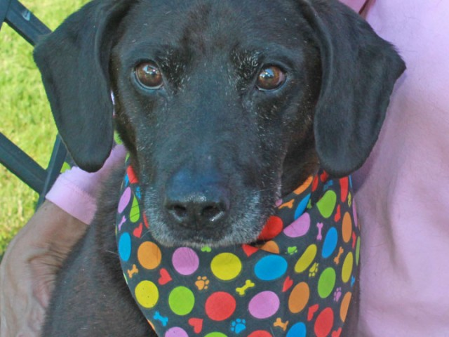 Coco is a very friendly and outgoing 3 year-old Lab/Terrier mix male who came to Canine Lifeline after testing positive for heartworms at an overcrowded […]