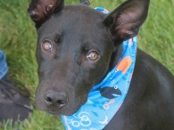 Fritz is an adorable 6 month-old pup who looks like he might be a mix of Lab (short coat) and Shepherd (big ears!). He came […]