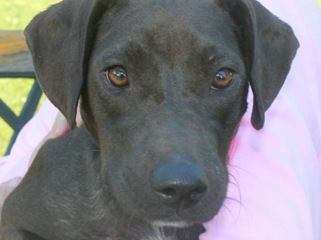 Jessie is a sweet and loving 1 year-old Lab/Terrier mix female with a rich chocolate brown coat. She was a little camera shy so her […]