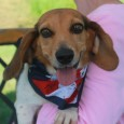 Lola is a sweet and loving 4 year-old Beagle who had the misfortune of not only being homeless at a rural county dog shelter but […]