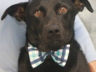 Mickey is a kind and gentle 2 year-old all-American mutt who looks like an Australian Kelpie/Shepherd mix. We have no history on this sweet dog […]