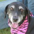 Natasha is a beautiful 8 year-old Husky/Lab mix female who came to us from a local dog shelter with Nestle, her 2 year-old pup. According […]