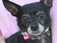 Rosalie is a very sweet but shy 5 year-old Chihuahua mix female who came to us from a local county dog shelter. We don't have […]