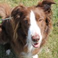 PICTURES FROM 2017 PICTURES FROM 2012 Spatz is a very handsome 7-year-old Border Collie/Irish Setter mix that was previously adopted from us in 2012. He […]
