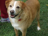 Winter is a good-looking 6 year-old Cattledog/Lab mix male that was adopted from us in 2014 and recently returned. His previous owner passed away. He […]
