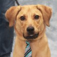 Here's Austin! This big goofy 9 month-old Lab/Shepherd mix boy was adopted from a shelter as a puppy but recently returned as his family was expecting a baby and no longer wanted him. Although Austin has a fantastic disposition, his […]