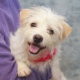 Talk about a natural in front of the camera! Betsy is an adorable 2 year-old Terrier mix female who flashed her best smile during her […]