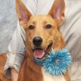 Blossom is a very sweet and friendly 9 month-old pup whose breed mix is anyone's guess. We see some Collie, Shepherd, Retriever, and maybe even […]