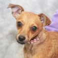 Calling all little dog fans! You're going to want to meet Bridget, a pipsqueak of a 7-8 month-old Chihuahua mix with an adorable little bobtail. […]