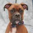 Meet Buddy, a handsome 3 year-old Boxer who was an owner surrender at an overcrowded county dog shelter. We don't know why his family could […]