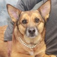 Carmen is a lovely 2 year-old German Shepherd mix female who's a great size at only about 40 pounds. She came to us from a […]