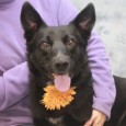 If you're looking for an active young dog to accompany you on jogs and hikes, Clover just might be your girl. This 1.5 year-old beauty […]