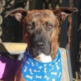 If you're looking for the perfect dog, you're going to want to meet Dash! This 2 year-old Boxer/Mountain Cur mix has a sad story to […]