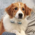Duffy has it all–great looks and a fabulous disposition! This 7 month-old Collie/Great Pyrenees mix male pup was a little shy during his photo session […]