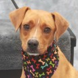 Duke is a very polite 1 year-old Boxer mix who was adopted from a shelter as a puppy but recently returned as he didn't get […]