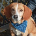 Dusty is a 2 year-old Beagle mix male with a slightly longer coat who found himself homeless at a rural county shelter. He came to […]