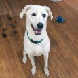 Ivory is a 1 year old Lab/Great Pyrenees mix pup who was adopted from us earlier this year and recently returned. The family had an […]