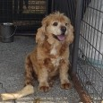 Meet Leo, a sweet and affectionate 10 year-old Cocker Spaniel who certainly acts much younger than his age. He was bought from a breeder as […]