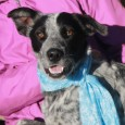 Lola is a gorgeous 3 year-old Heeler mix female and one super-nice dog! She came to us as a stray from an overcrowded rural county […]