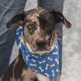 Max is a handsome 1-2 year-old Catahoula mix who came to Canine Lifeline from an overcrowded rural county dog shelter with his equally handsome brother […]