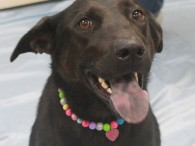 Meet Midnight, a very kind and loving 1-2 year-old Lab/Shepherd mix female who came to Canine Lifeline from an overcrowded rural county shelter to find […]