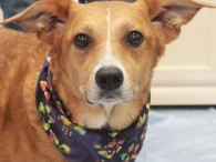 Nikki is a lovely 4 year-old Collie mix female who was found abandoned in a home with her pal Princess after the family was evicted. […]