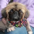 "Whoever coined the phrase ""cute as a bug's ear"" would have to agree that Phoenix more than fits the bill! This little 3-4 year-old Pekingese […]"