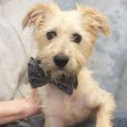 Meet Preston, a very spunky 8 year-old Terrier mix male whose spirit and energy level are more in line with an 8 month-old. This guy […]