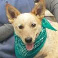 If you're a fan of Cattledogs, you'll want to meet Princess! This 1 year-old girl was found abandoned in a home with her pal Nikki […]